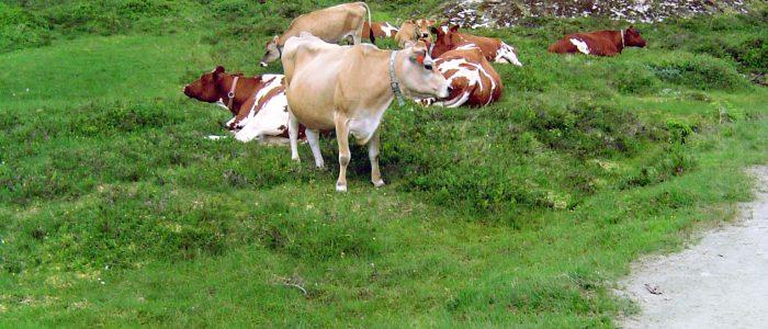 Und noch ein paar norwegische Kühe