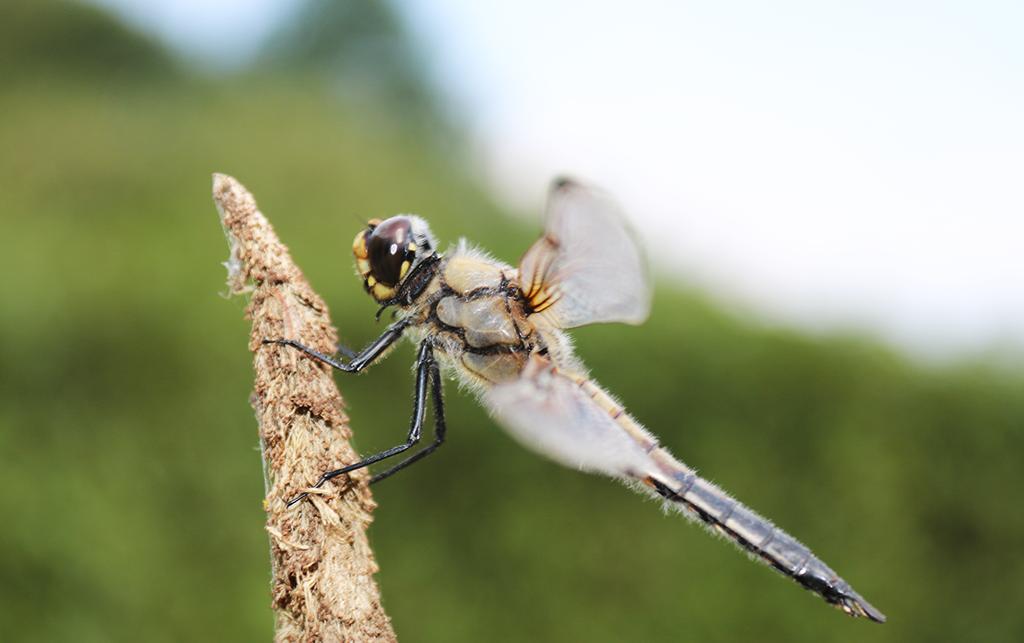 Der geflügelte Drache: Die Libelle